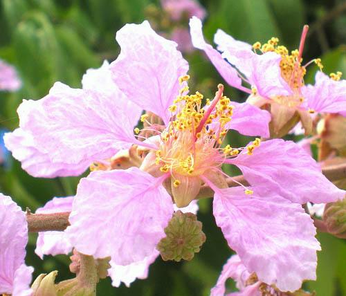 Цветки деревьев-гигантов