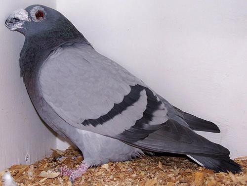 Голуби из модены голуби