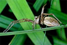 Бразильские странствующие пауки
