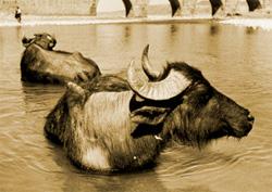 Индийский буйвол