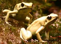 Лягушки древолазы и листолазы