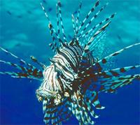 Рыба крылатка