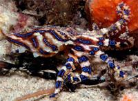 Ядовитые осьминоги