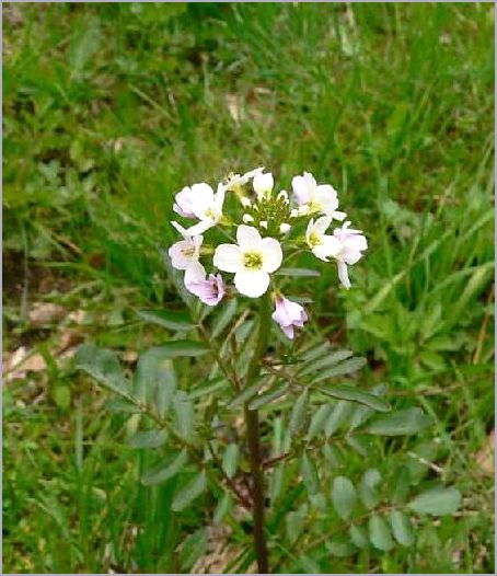 http://www.earthflora.ru/wp-content/uploads/2012/zheruxa-vodnaya_1.jpg
